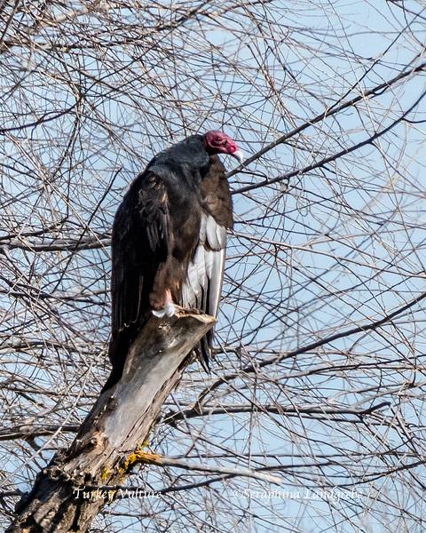 _DSC0108Two Vulture .jpg