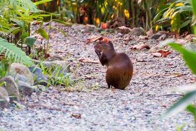 Dec. 7, 2014 - Costa Rica - Other Mammals