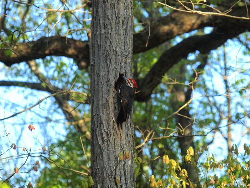 Pileated Woodpecker-021.JPG
