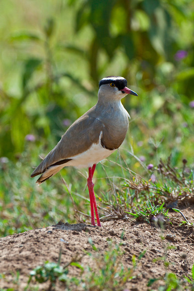 Crowned Plover (Vanillas coronatus)