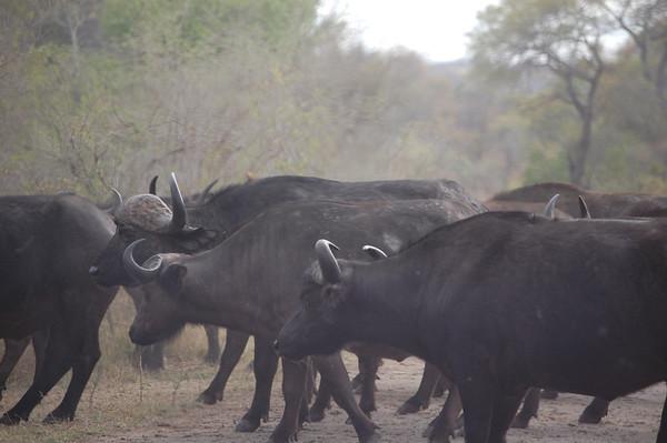 Kruger Buffalo