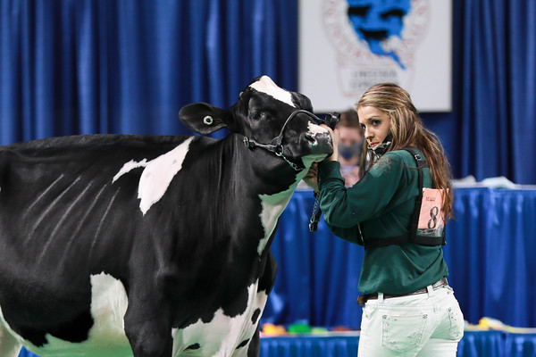 Holstein Showmanship
