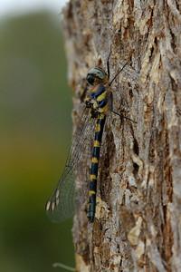 Cordulephyidae