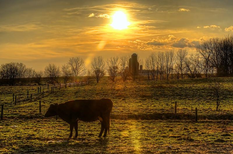 sunrise - cow in pasture(p).jpg