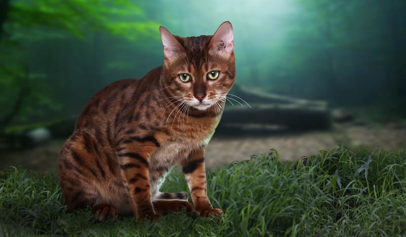 g-bengal-cat.jpg
