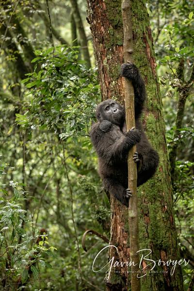 gorillas web-12.jpg