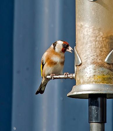Goldfinch ( Carduelis carduelis)