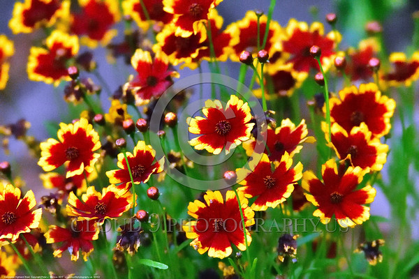 Coreopsis Highland Blast Flower Pictures