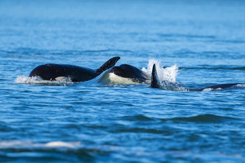Orcas -  073115-422.jpg