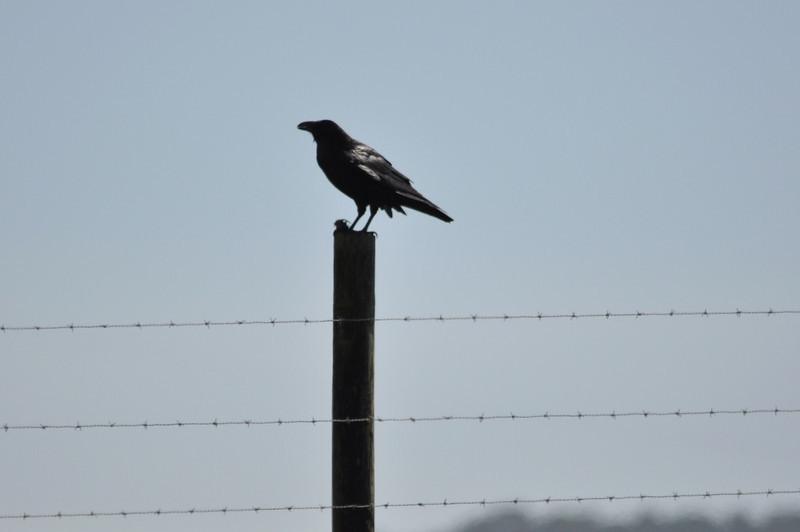 Common Raven (3).JPG