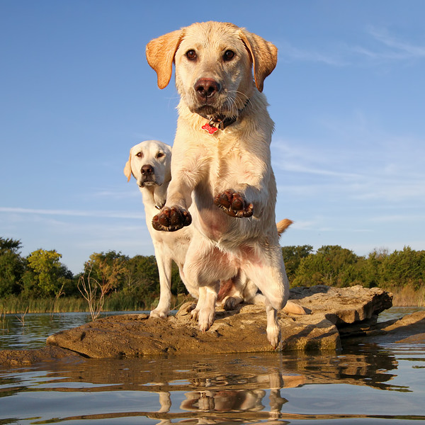 Labrador Diving In.jpg