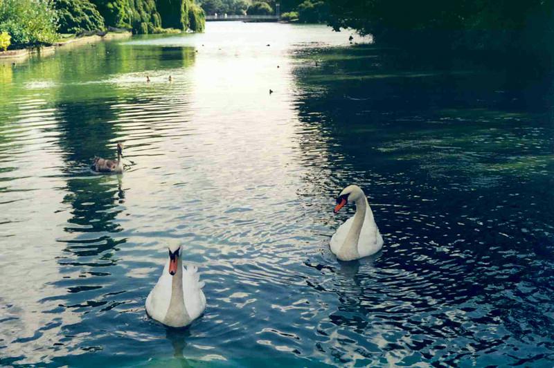 Swans in James Park.jpg