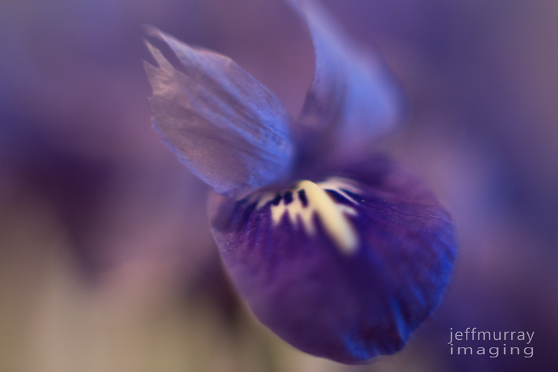 Mother's Miniature Iris