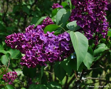 Lilac Festival - Rochester