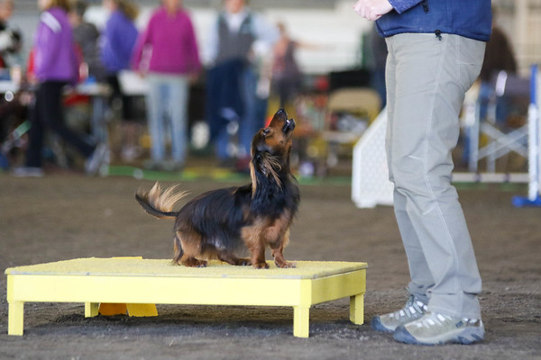 Excellent/Master Standard Small Dogs