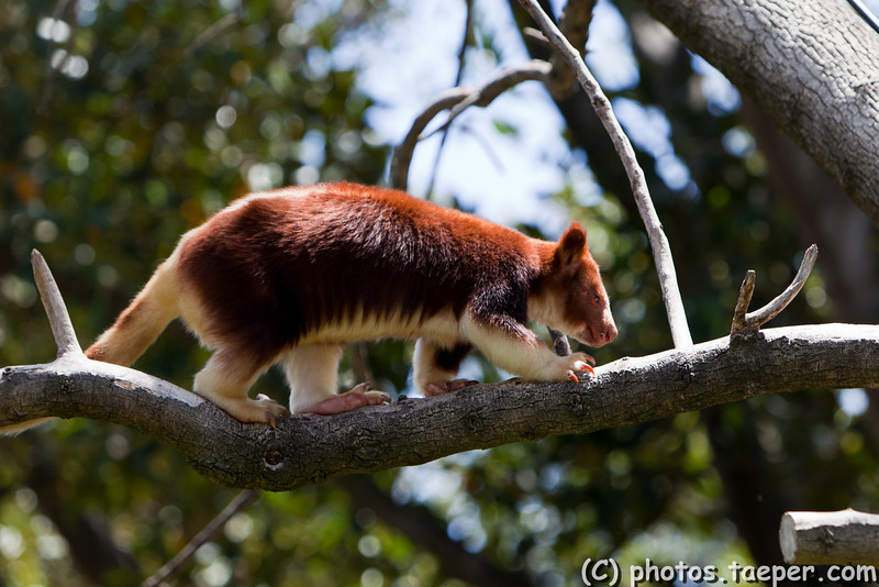 20-Dec-2008-tree kangaroo-001.jpg