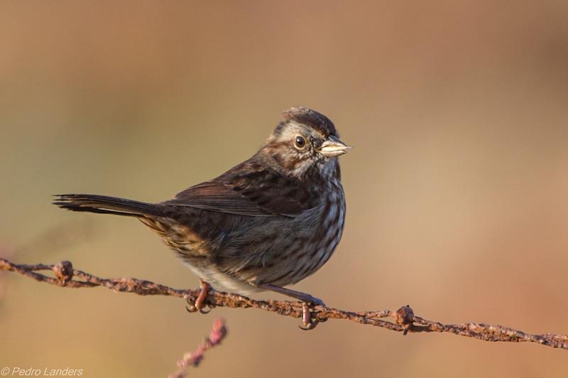 Grain Fed Sparrow