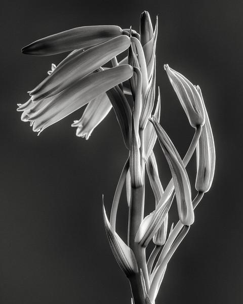 aloe humilis flowers