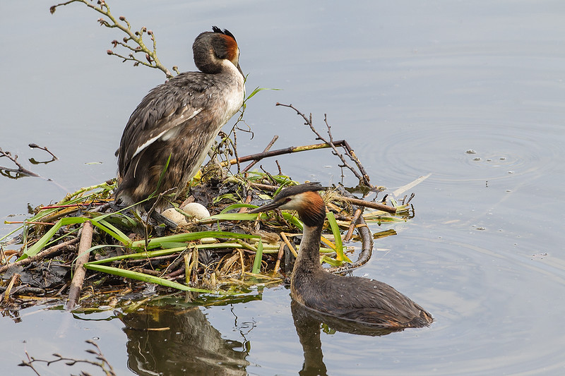 Great Crested Grebe at nest 1406021717.jpg