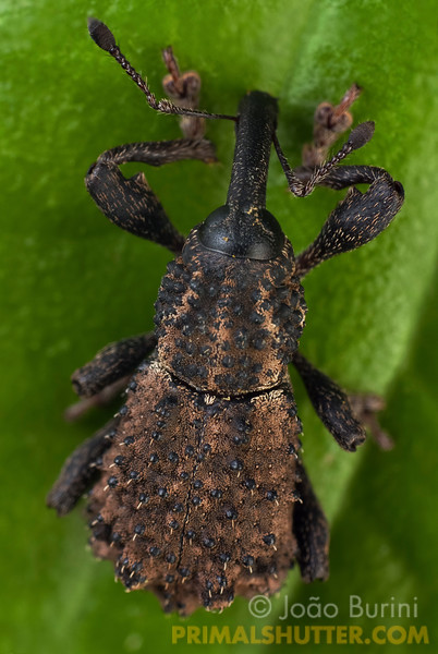 Dorsal view of a weevil (Curculionidae), in Intervales State Park, Brazil. South-east atlantic forest reserve, UNESCO World Heritage Site.