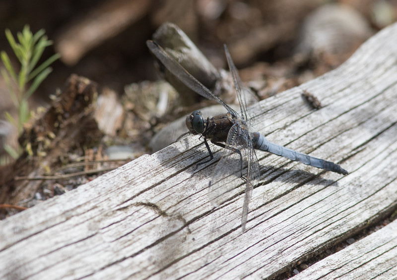 Orthetrum cancellatum, Black-tailed Skimmer