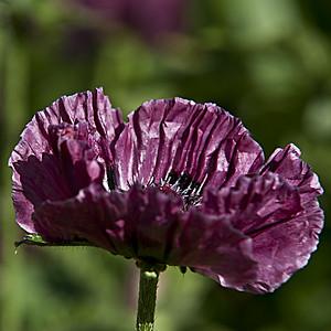 Purple rain sur pavots