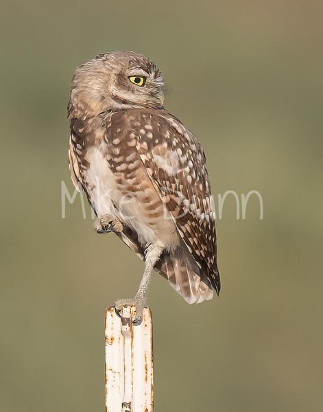 Burrowing Owl 21-71