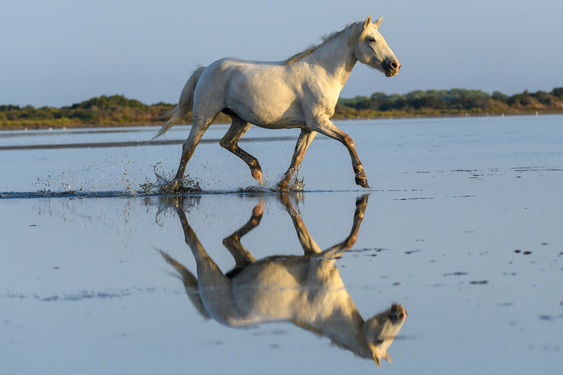 Camargue White Horse reflection
