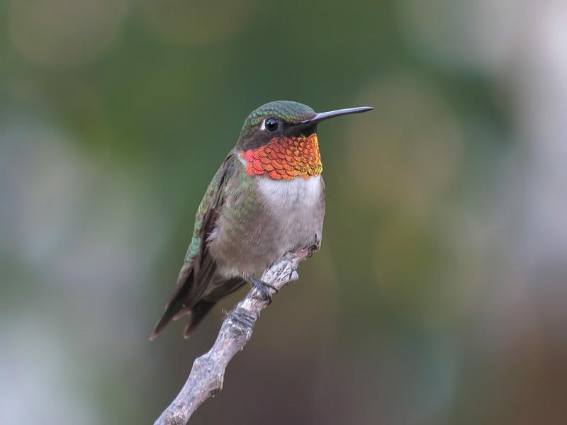 sx50_hummingbird_boas_219.jpg