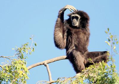 Gibbon Love