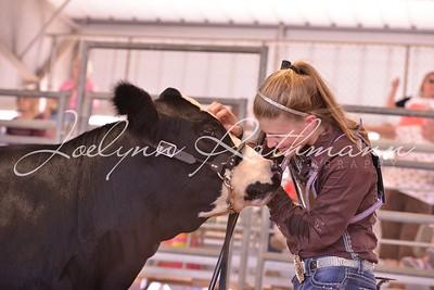 Commercial Heifer Ringshots - 2
