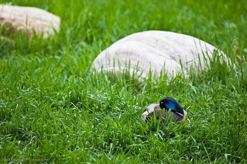 Sleeping Duck, Calgary Zoo