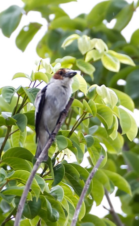 Blackcrowned Tityra