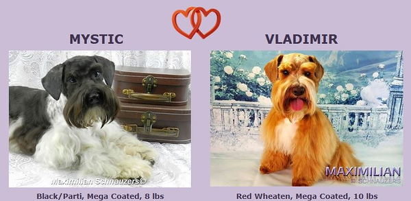 Mystic & Vladimir Puppies, DOB 7/22/2018