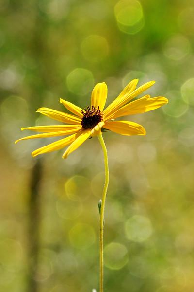 Goodness knows I love narrow-leaf sunflowers.