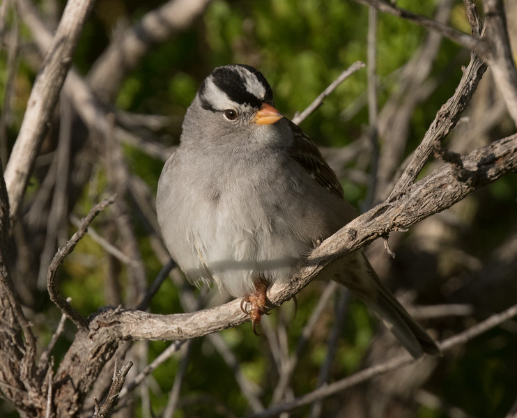 White-crowned Sparrow Carlsbad 2019 04 21-1.CR2