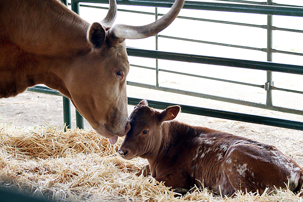 . A Locatelli longhorn from Soquel nuzzles her month-old calf at the Santa Cruz County Fair Tuesday.  (Dan Coyro/Sentinel)