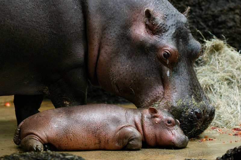 . A hippo  baby Farasi lies in its enclosure along with mother Helvetia in the zoo in Basel, Switzerland.  (AP Photo/Keystone, Andreas Frossard, File)