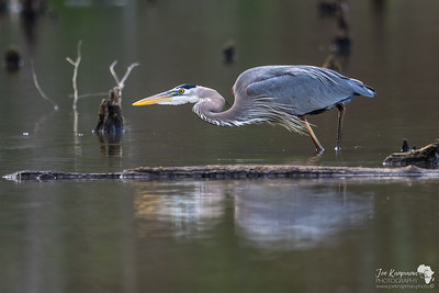 Great Blue Heron Keen Fisher