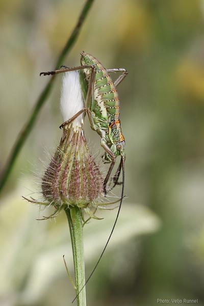 Uromenus elegans