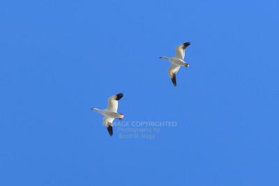 01/12/20 Whitehall Snow Geese