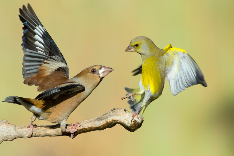Hawfinch & Greenfinch