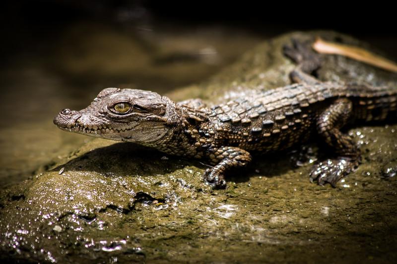 Juvenile Mugger Crocodile
