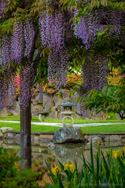 More wisteria hysteria! At the Seattle Japanese Garden.