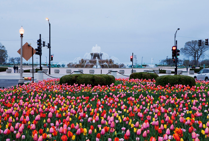 Tulips at Buckingham fountain, Chicago