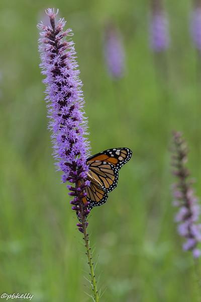 monarch & liatris 080615-1.jpg