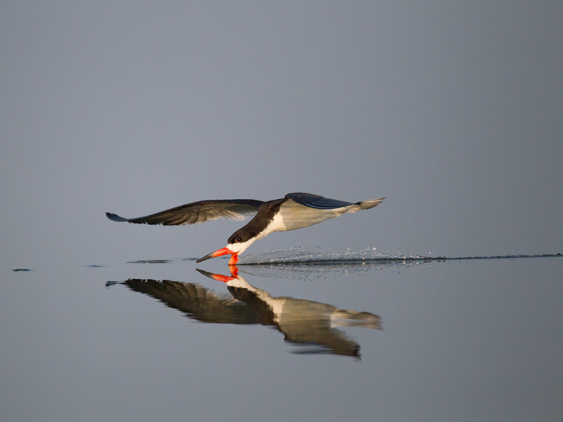 Black Skimmer San Joaquin Wildlife Sanctuary 2016 07 30-1.CR2