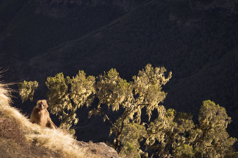 Geladas at dawn: Simien Mountains