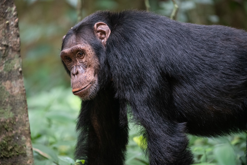 Uganda_T_Chimps-840.jpg