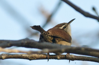 Wrens, Kinglets and Gnatcatchers